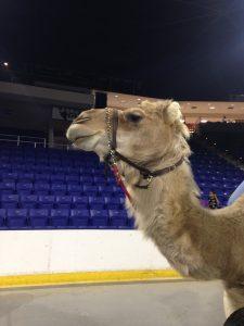 circus_camel